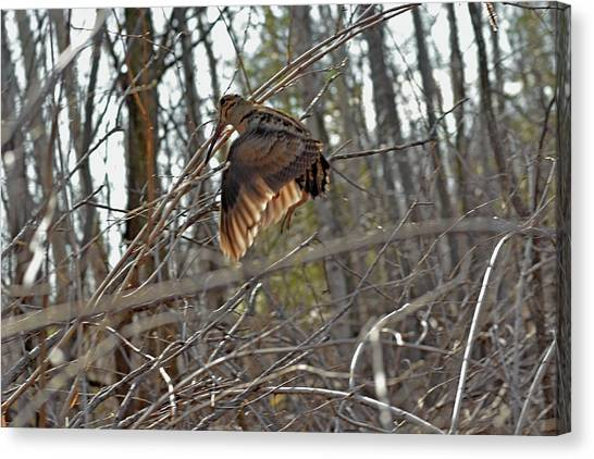 Woodcock Canvas Print - American Woodcock's Flight When She Has Chicks by Asbed Iskedjian