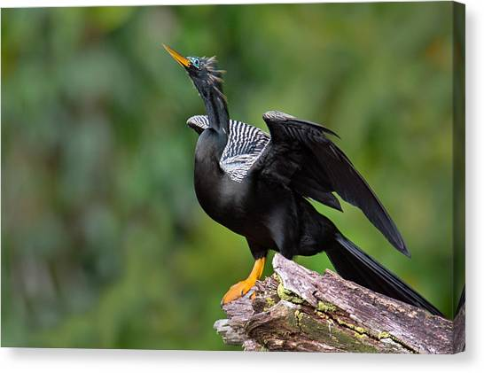 Anhinga Canvas Print - Anhinga Anhinga Anhinga Perching by Panoramic Images