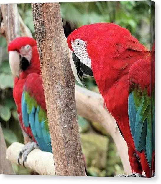 Macaws Canvas Print - #ara #vogel #jungle #oerwoud #snavel by Elize Aurik