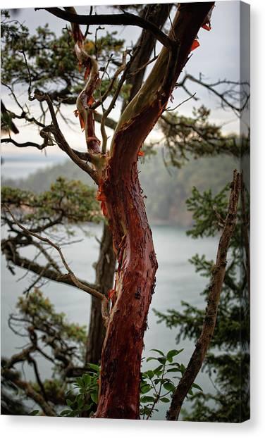 Arbutus Tree Canvas Print