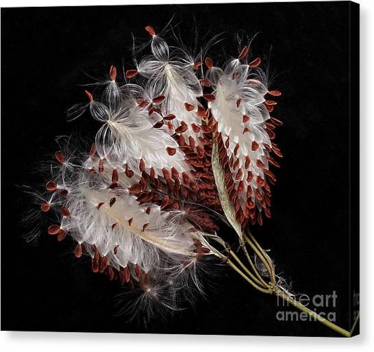 Asclepias Currasavica--seed Pod Canvas Print