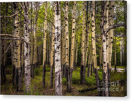 Aspen Trees Canadian Rockies Canvas Print
