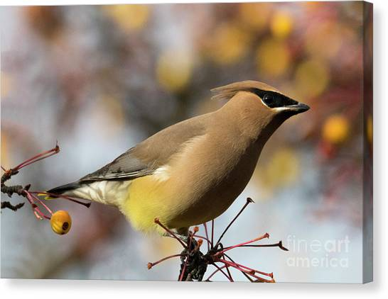 Cedar Waxwing Canvas Print - Autumn Waxwing by Mike Dawson