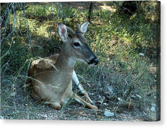 Baby Buck Canvas Print by Teresa Blanton