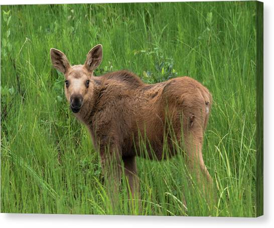 Baby Moose In The Grass Canvas Print