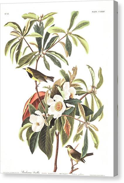 Warblers Canvas Print - Bachman's Warbler  by John James Audubon