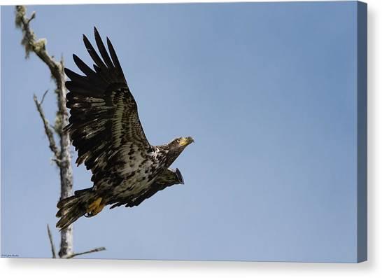 Bald Eaglet Canvas Print
