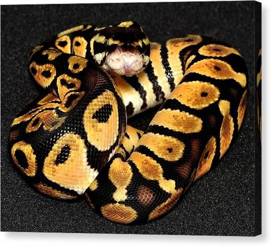 Ball Pythons Canvas Print - Ball Python by DeTerra Photography