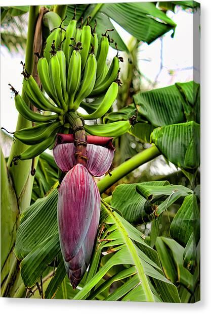 Banana Tree Canvas Print - Banana Flower by Dan McManus