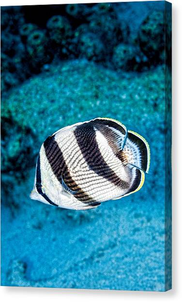 Canvas Print featuring the photograph Banded Butterflyfish by Perla Copernik