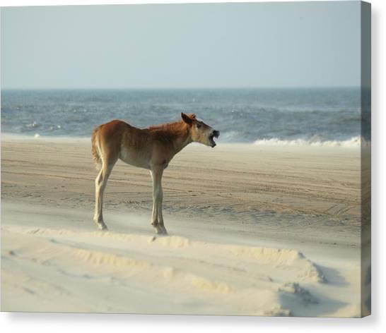 Banker Horses - 8 Canvas Print