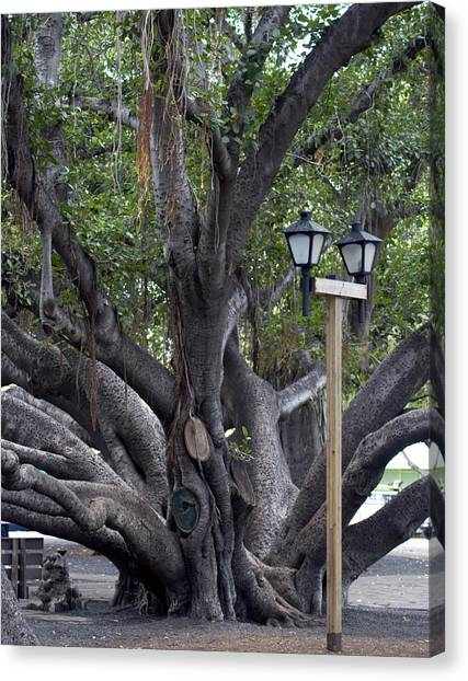 Banyan Tree, Maui Canvas Print