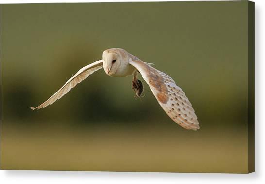 Barns Canvas Print - Barn Owl by Paul Neville