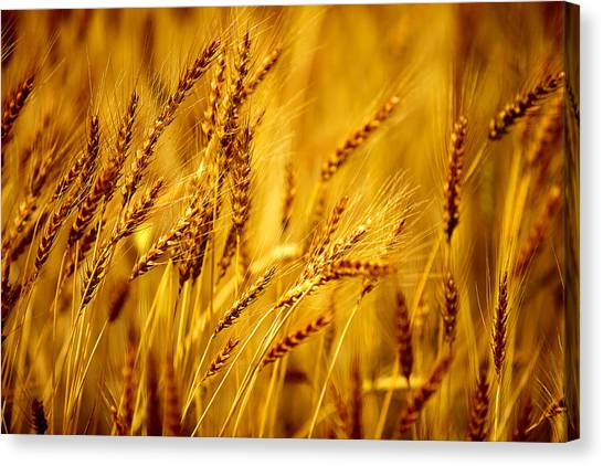 Sun Belt Canvas Print - Bearded Barley by Todd Klassy