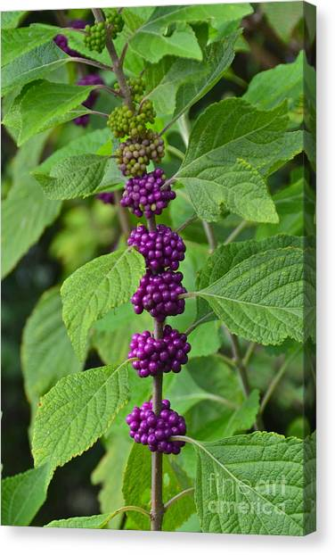 Wild Berries Canvas Print - Beautyberry by Carol  Bradley