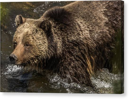 Beryl Springs Sow In The River Canvas Print