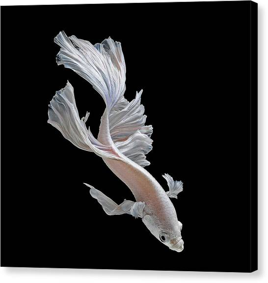 Biology Canvas Print - Betta by Jackie Russo