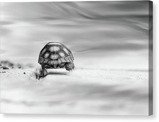 Tortoises Canvas Print - Big Big World by Laura Fasulo
