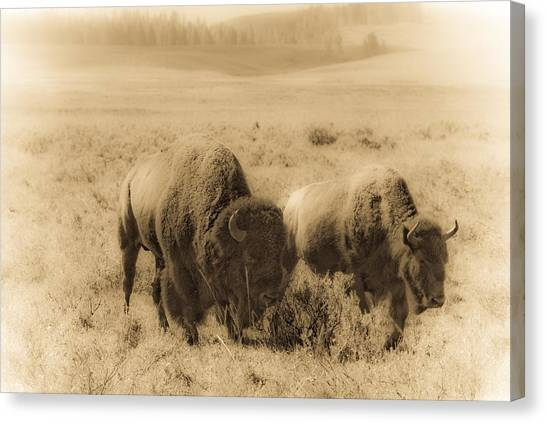 Bison Pair Canvas Print by Patrick  Flynn