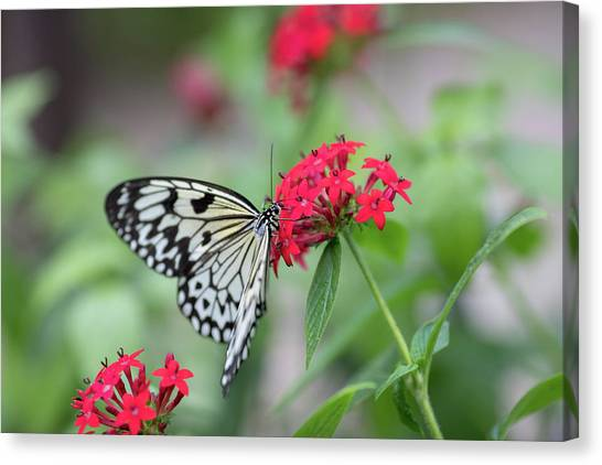 Canvas Print featuring the photograph Black And White Butterfly  by Raphael Lopez