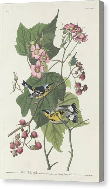 Warblers Canvas Print - Black And Yellow Warbler by Dreyer Wildlife Print Collections