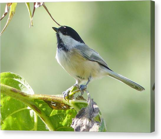 Songbirds Canvas Print - Black Capped Chickadee by Laurie Gresch