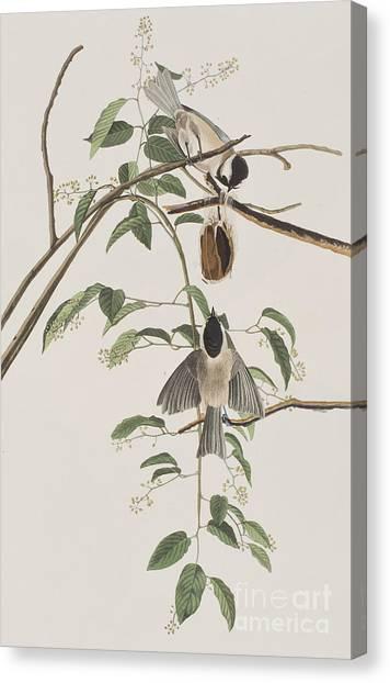 Titmice Canvas Print - Black Capped Titmouse by John James Audubon
