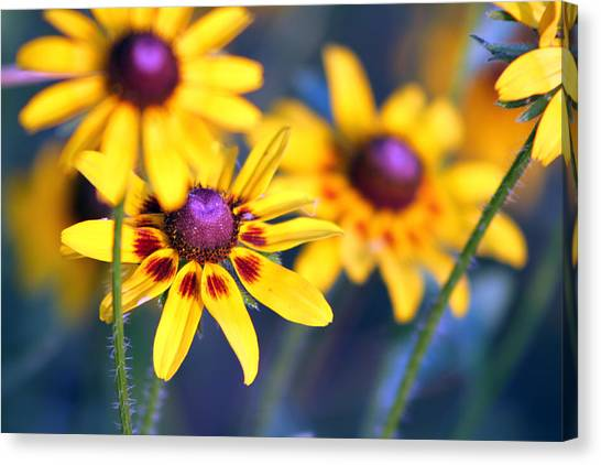 Black Eyed Susan's Canvas Print by Evelyn Patrick