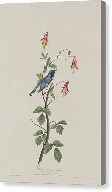 Warblers Canvas Print - Black-throated Blue Warbler by Dreyer Wildlife Print Collections