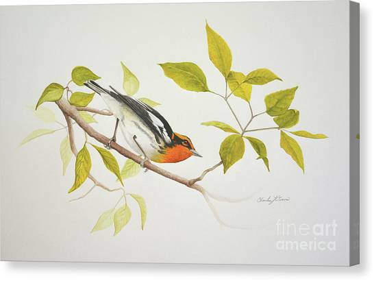 Blackburnian Warbler Canvas Print