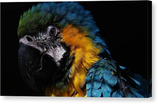 Macaws Canvas Print - Blue-and-yellow Macaw by Jackie Russo