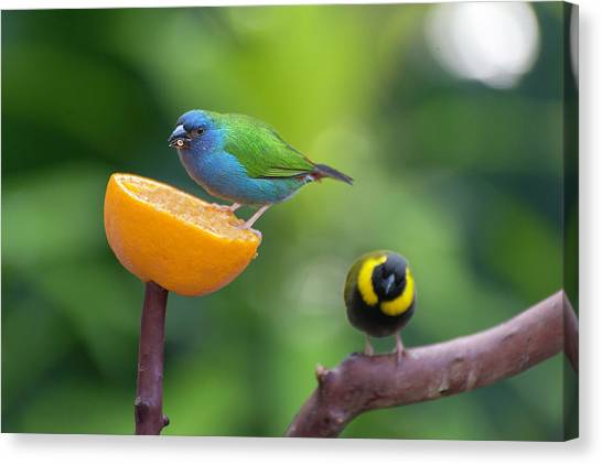 Blue-faced Parrotfinch Canvas Print