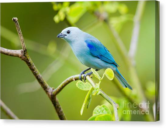 Arenal Volcano Canvas Print - Blue-gray Tanager by B.G. Thomson