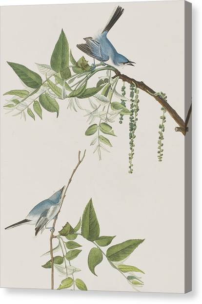 Flycatchers Canvas Print - Blue Grey Flycatcher by John James Audubon
