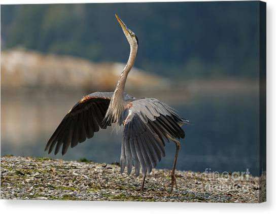 Blue Heron Dance Canvas Print