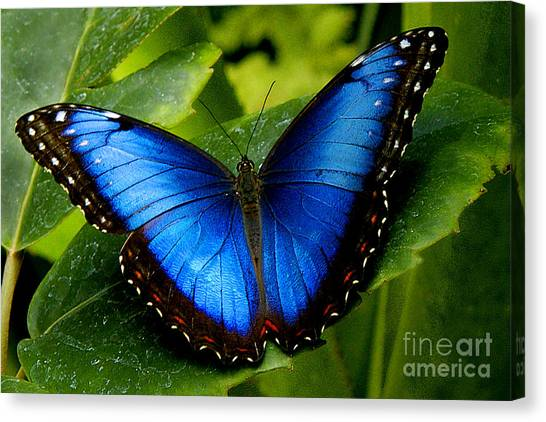 Bug Canvas Print - Blue Morpho by Neil Doren
