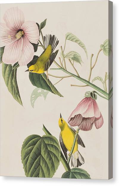 Warbler Canvas Print - Blue-winged Yellow Warbler  by John James Audubon