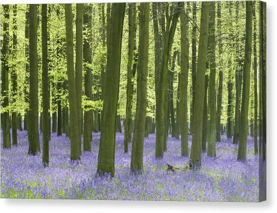 Bluebell Wood Canvas Print by Liz Pinchen