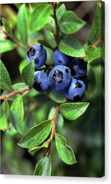 Wild Berries Canvas Print - Blueberries by Bill Morgenstern