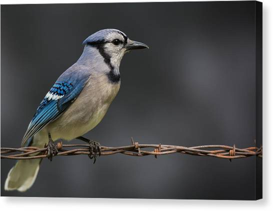 Bluejays Canvas Print - Bluejay by Larry Pacey
