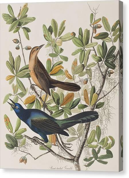 John Boats Canvas Print - Boat-tailed Grackle by John James Audubon