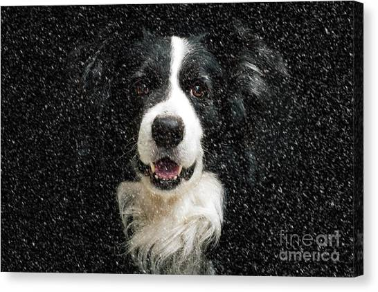 Border Collies Canvas Print - Border Collie by Smart Aviation