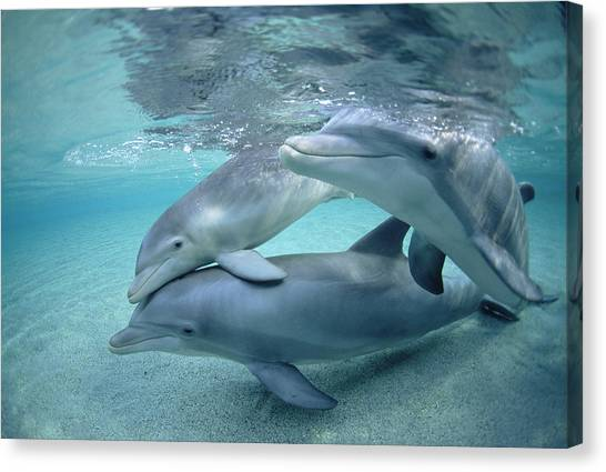 Bottlenose Dolphins Canvas Print - Bottlenose Dolphin Underwater Trio by Flip Nicklin