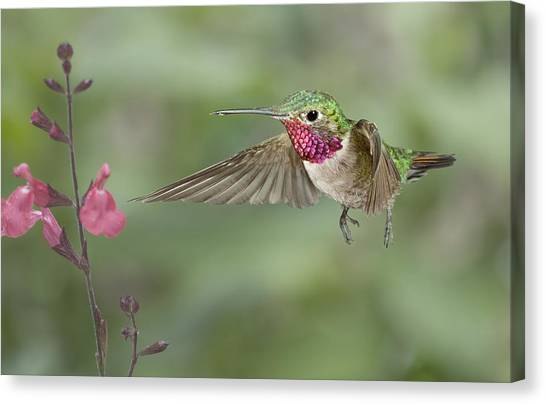 Broadtail Hummingbird And Salvia Canvas Print