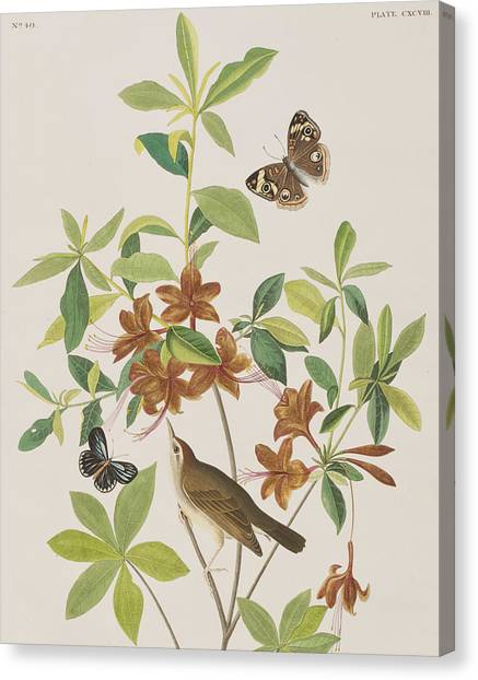 Warblers Canvas Print - Brown Headed Worm Eating Warbler by John James Audubon