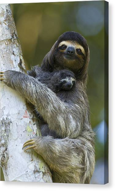 Canvas Print featuring the photograph Brown-throated Three-toed Sloth by Suzi Eszterhas