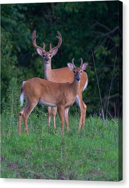Buck Father And Son Canvas Print