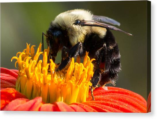 Canvas Print featuring the photograph Bumble Bee by Willard Killough III