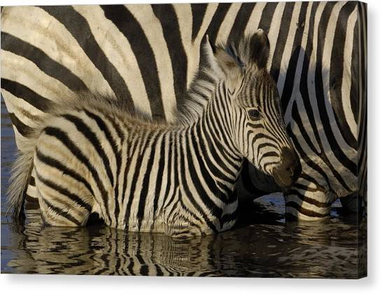 Canvas Print featuring the photograph Burchells Zebra Equus Burchellii Foal by Pete Oxford