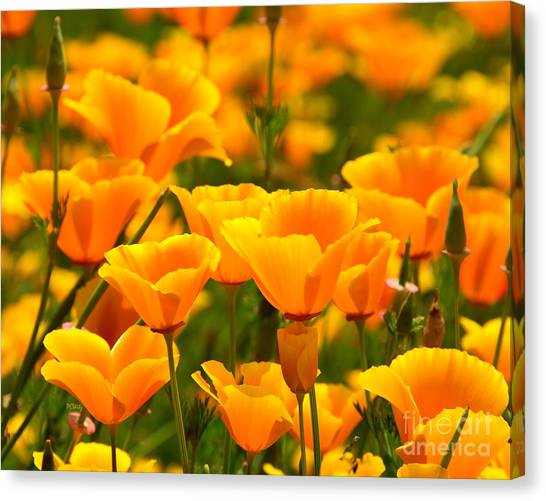 California Poppies Canvas Print